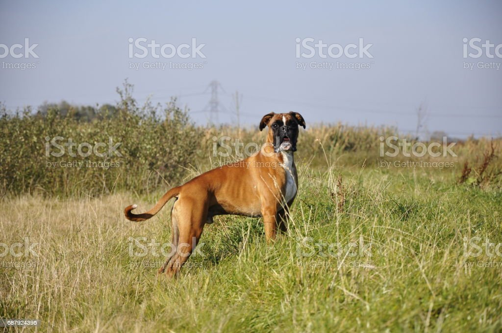 Boxer standing the field stock photo