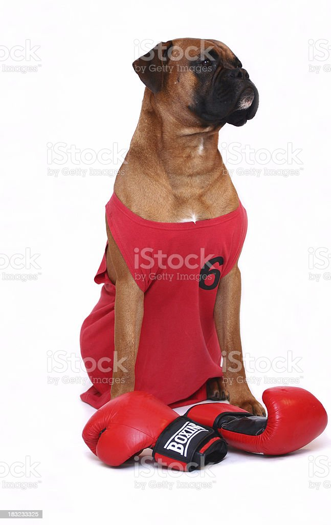 Boxer with his exercising equipment royalty-free stock photo