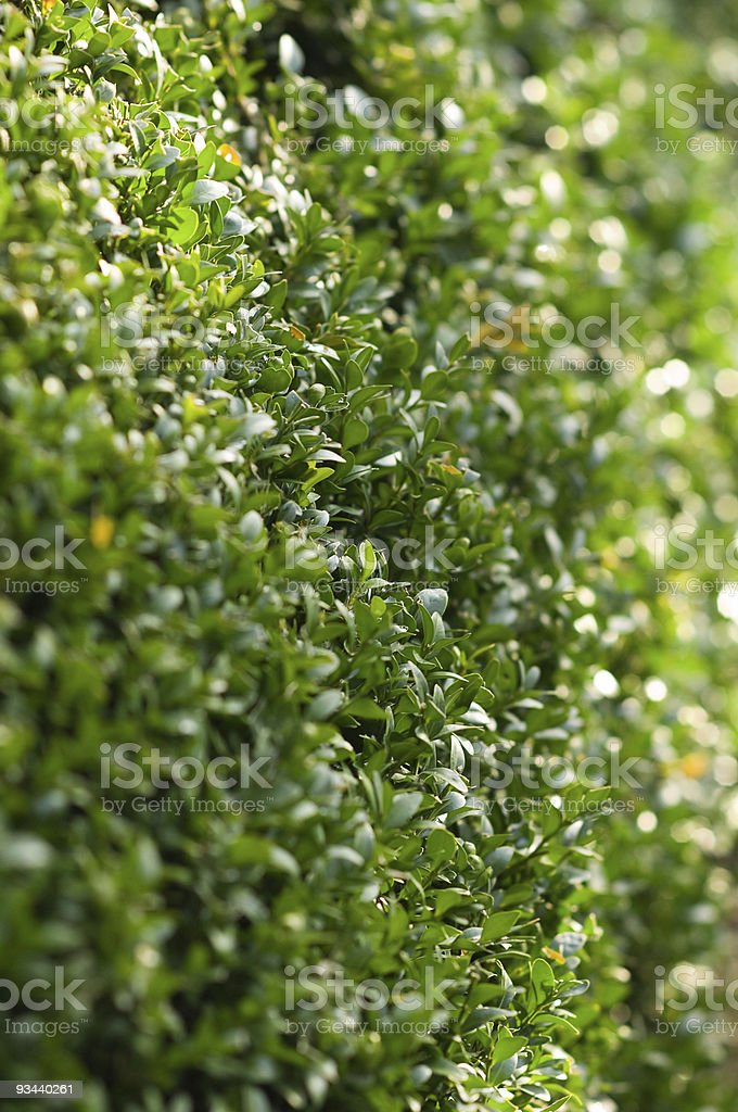 Boxhedge close-up royalty-free stock photo