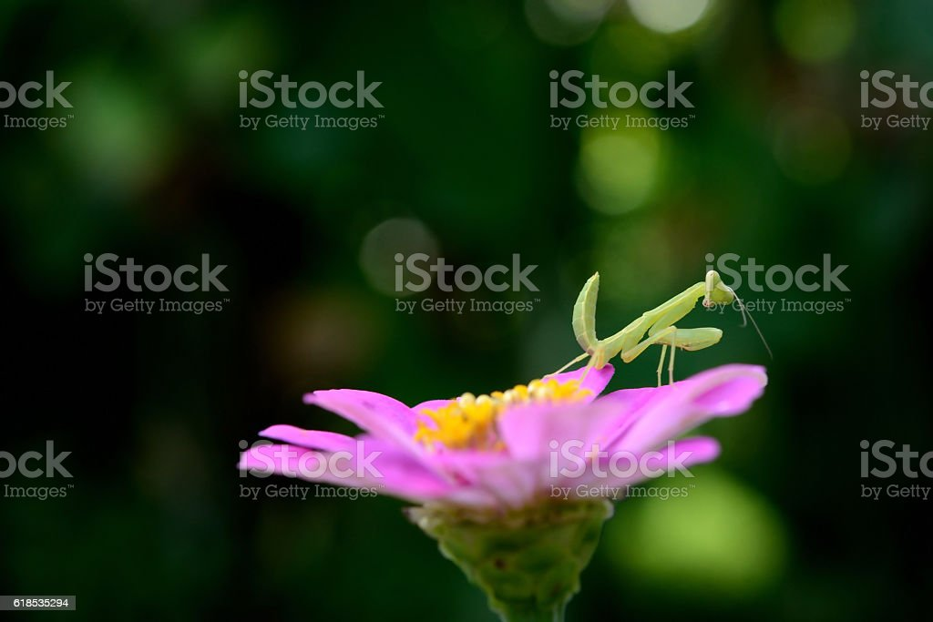 boxing grasshopper in forest stock photo