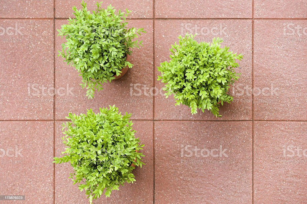 Boxwood stock photo