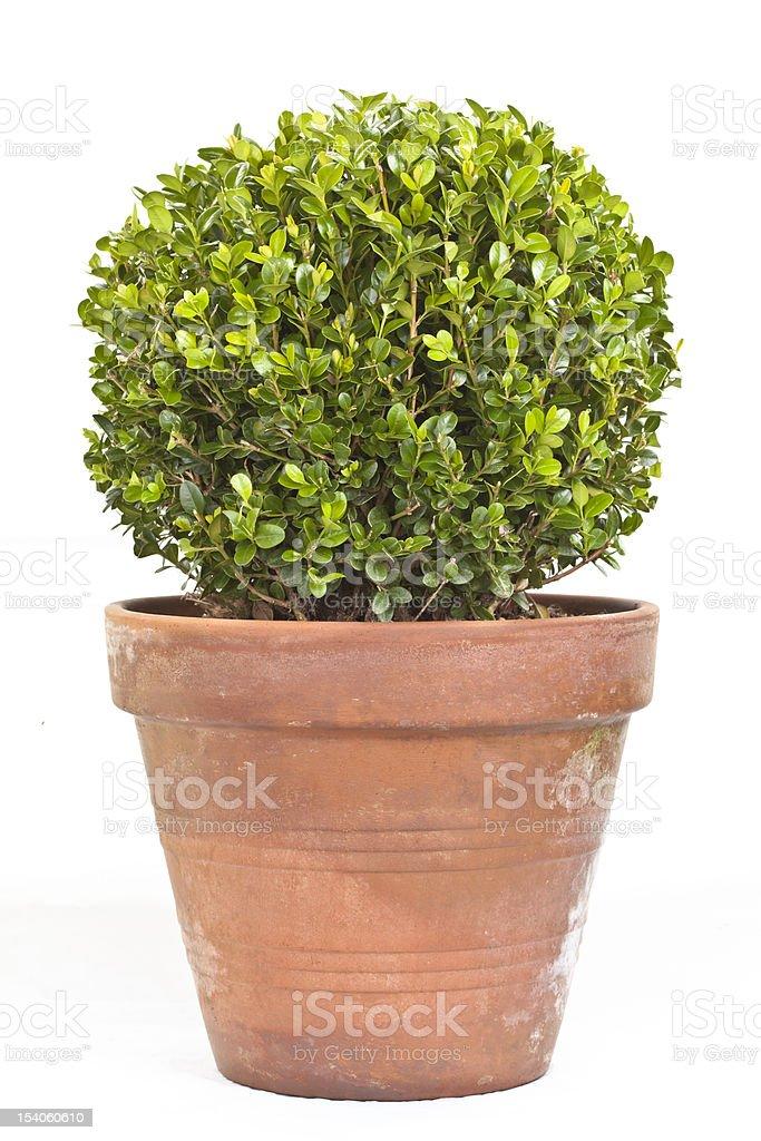 Boxwood shrub in terracotta planter stock photo