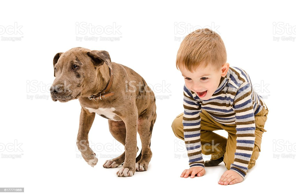 Boy and puppy pit bull playing together stock photo