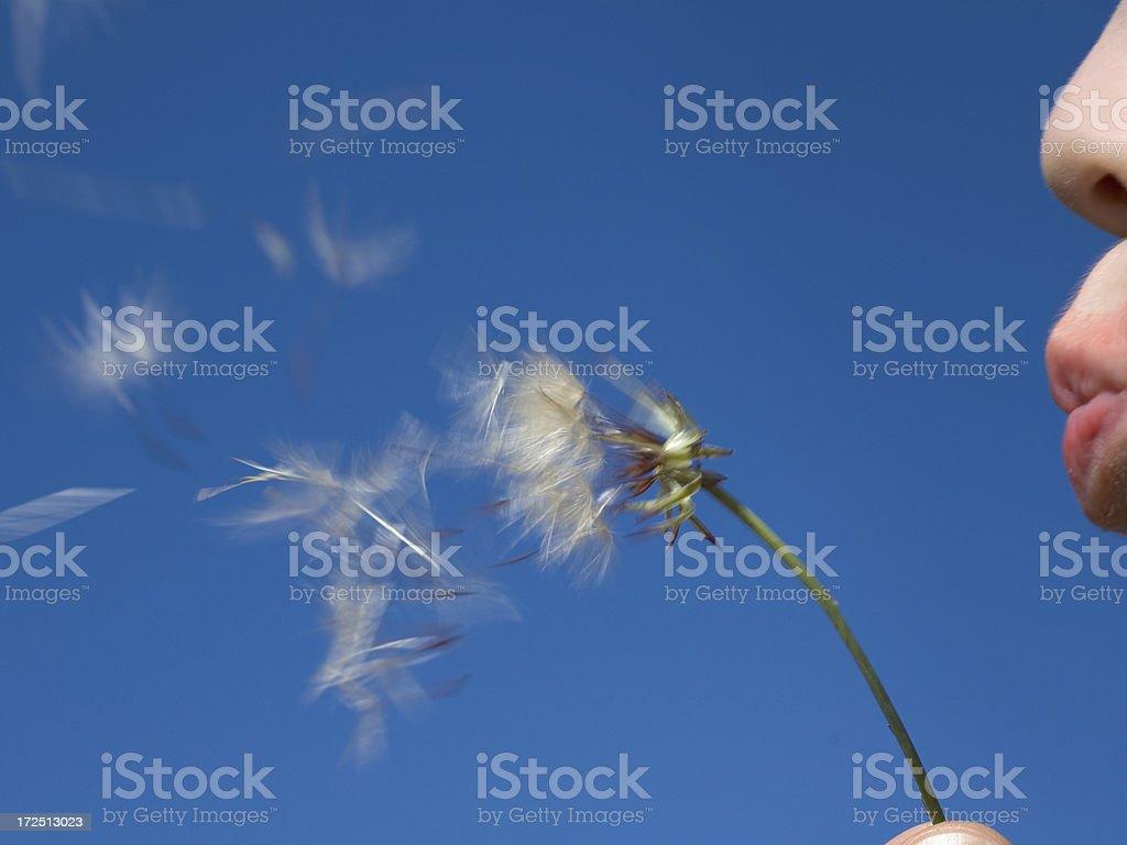 Boy blowing dandelion. royalty-free stock photo