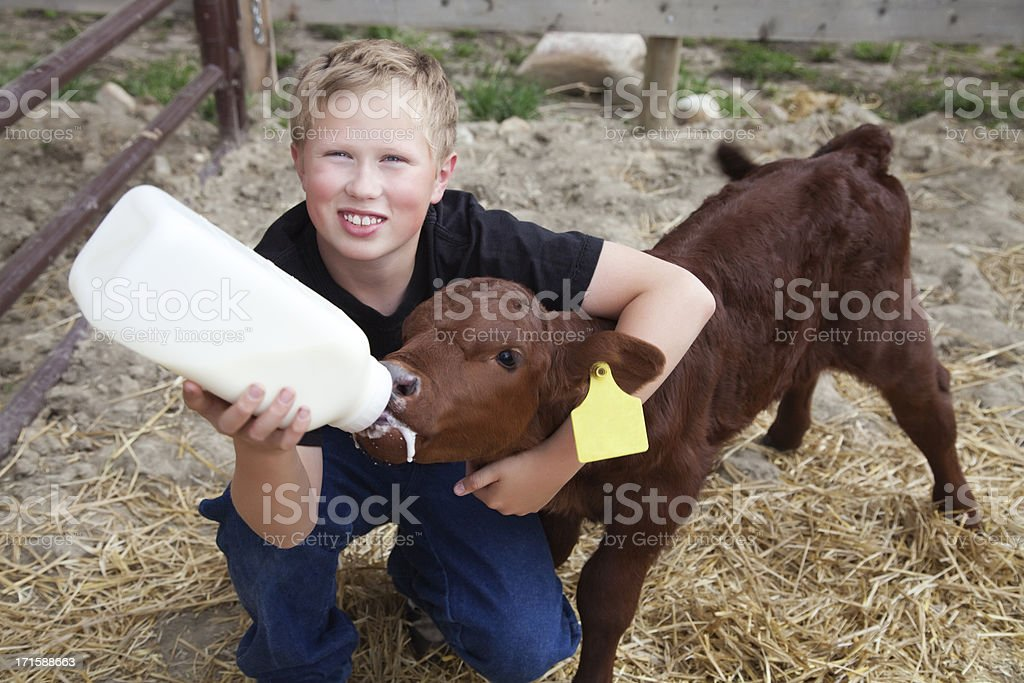 Boy Bottle Feeding a Calf stock photo