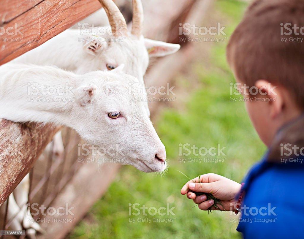 Boy feeding goats at a petting zoo stock photo