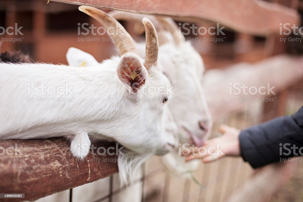 Boy feeding goats at a petting zoo stock photo