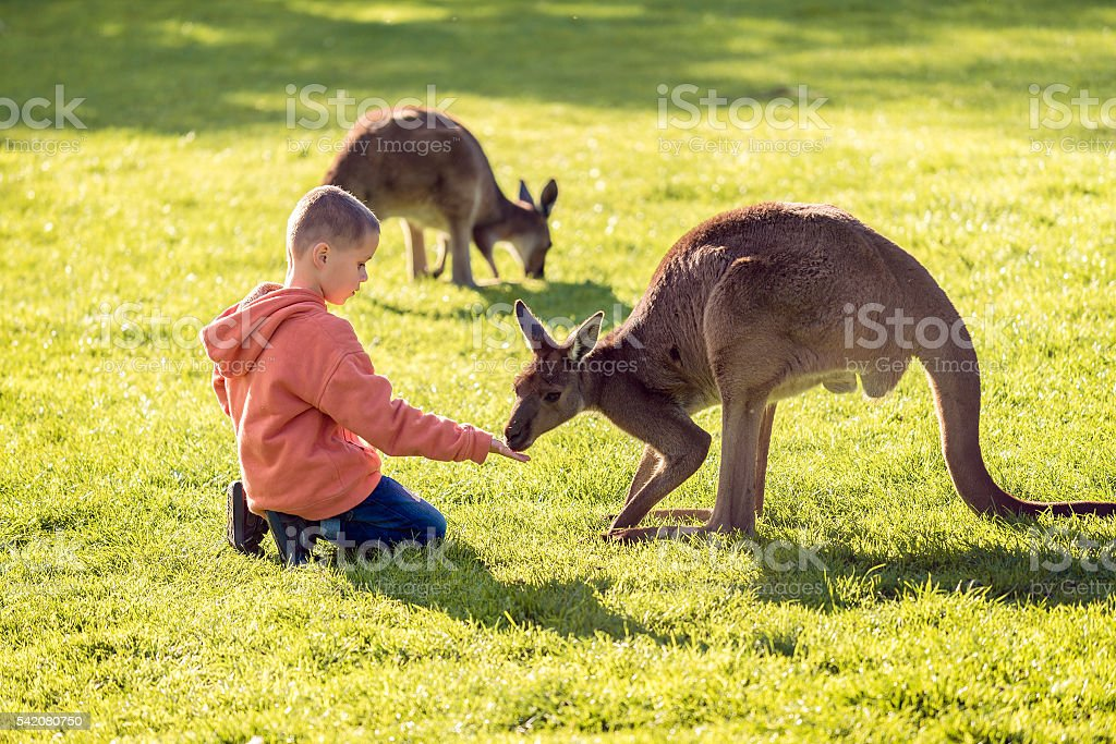 Boy feeding kangaroo stock photo