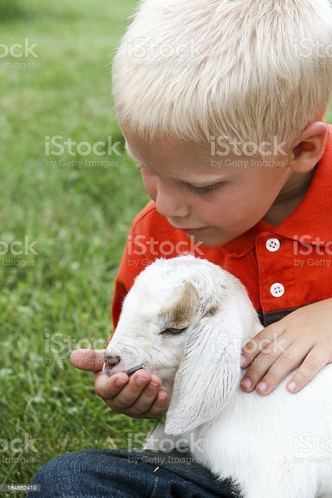 Boy feeding lamb on farm stock photo