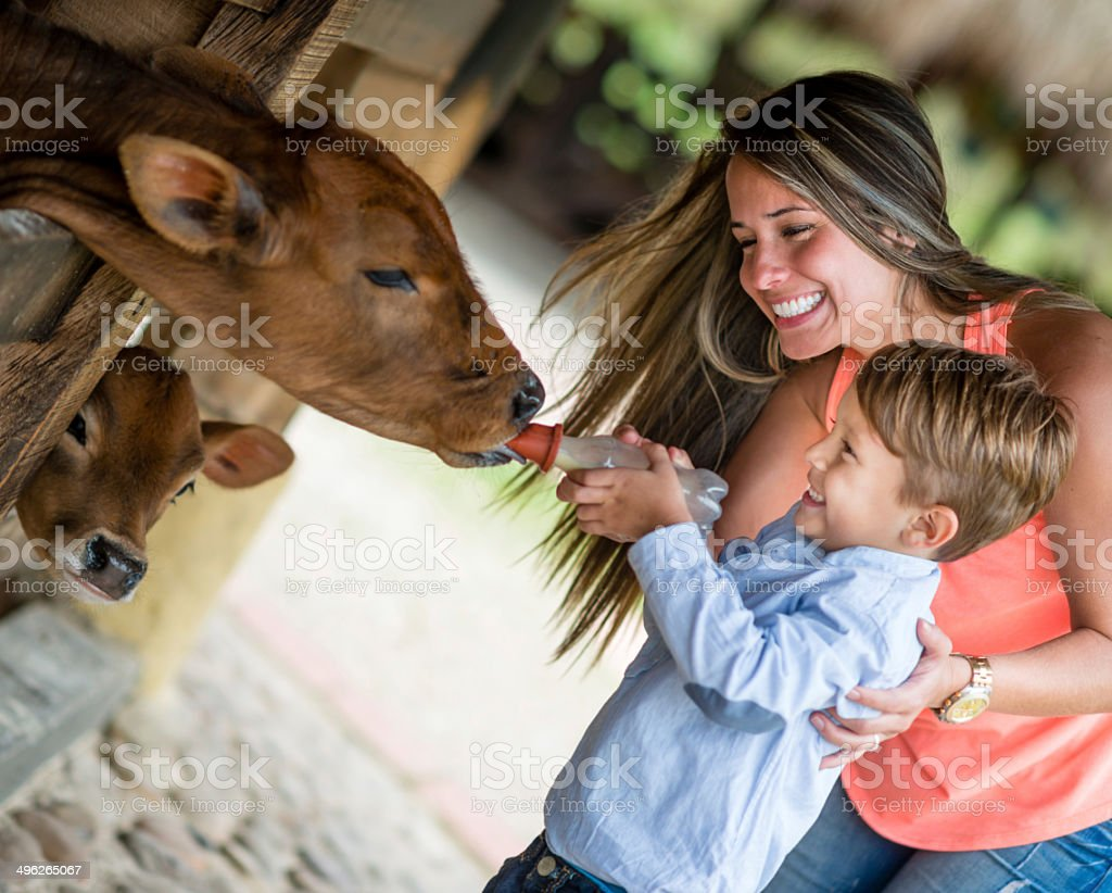 Boy feeding the cows stock photo