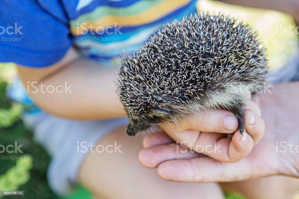 boy holding a beautiful hedgehog stock photo