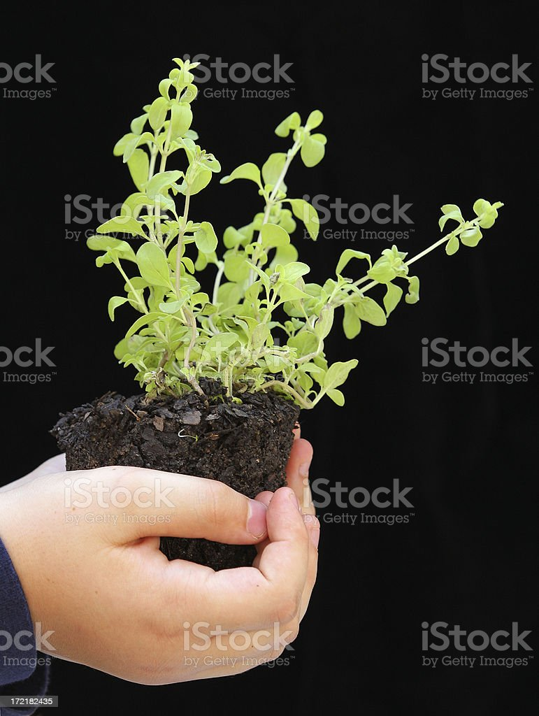 Boy Holding a Marjoram Seedling royalty-free stock photo