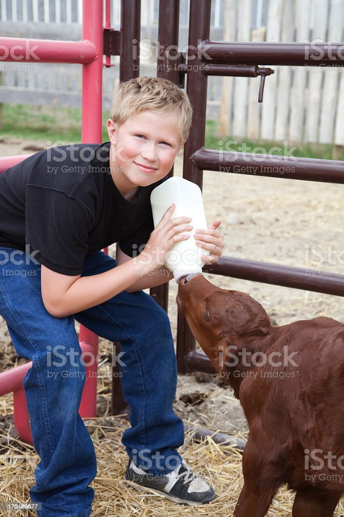 Boy holding a milk bottles feeding a brown calf in a farm stock photo