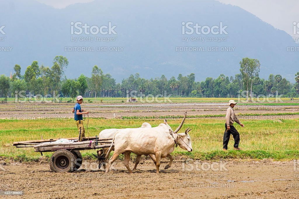 Boy leading oxcart stock photo