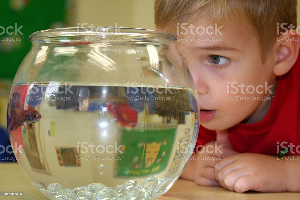 Boy Looking Closely at Classroom Fish in Fishbowl stock photo