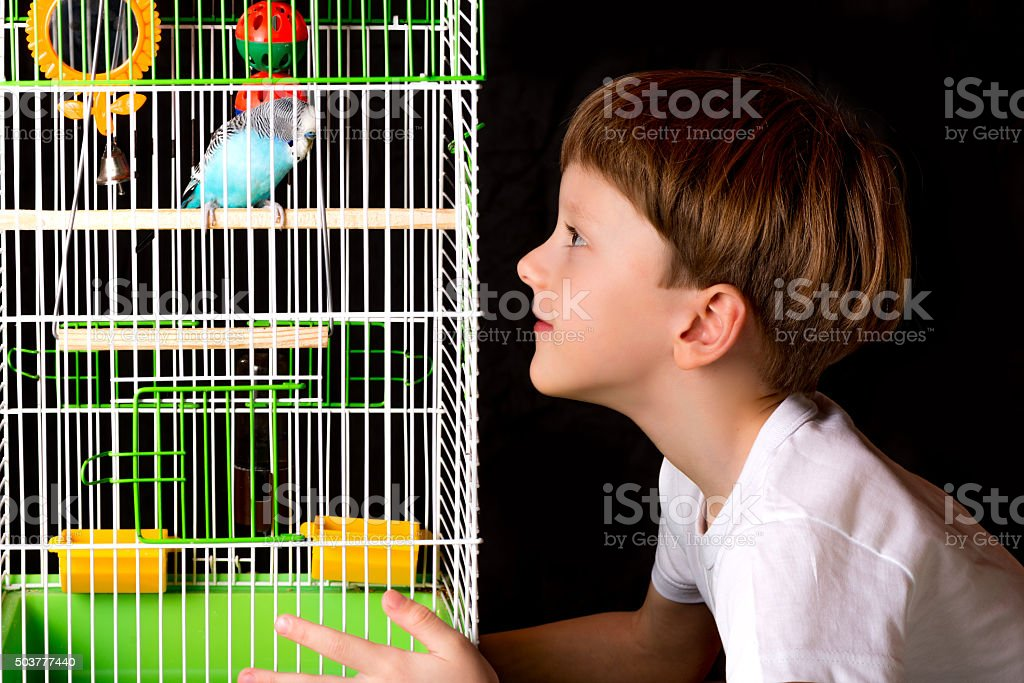 boy looks at the cage with budgies stock photo