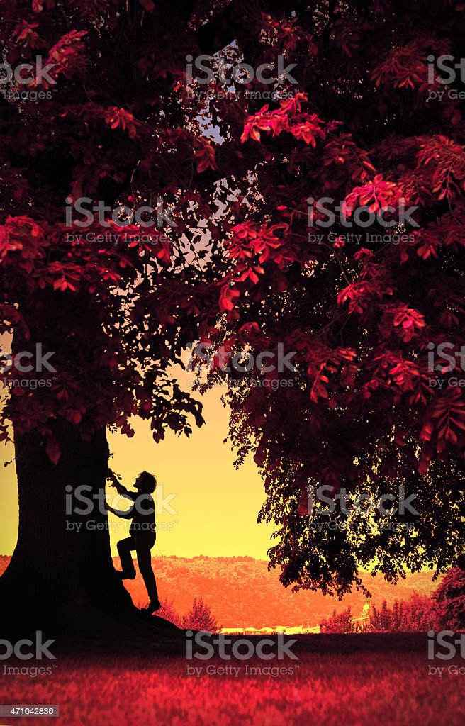 Boy man climbs large tree.  Image is entire warm colors. royalty-free stock photo