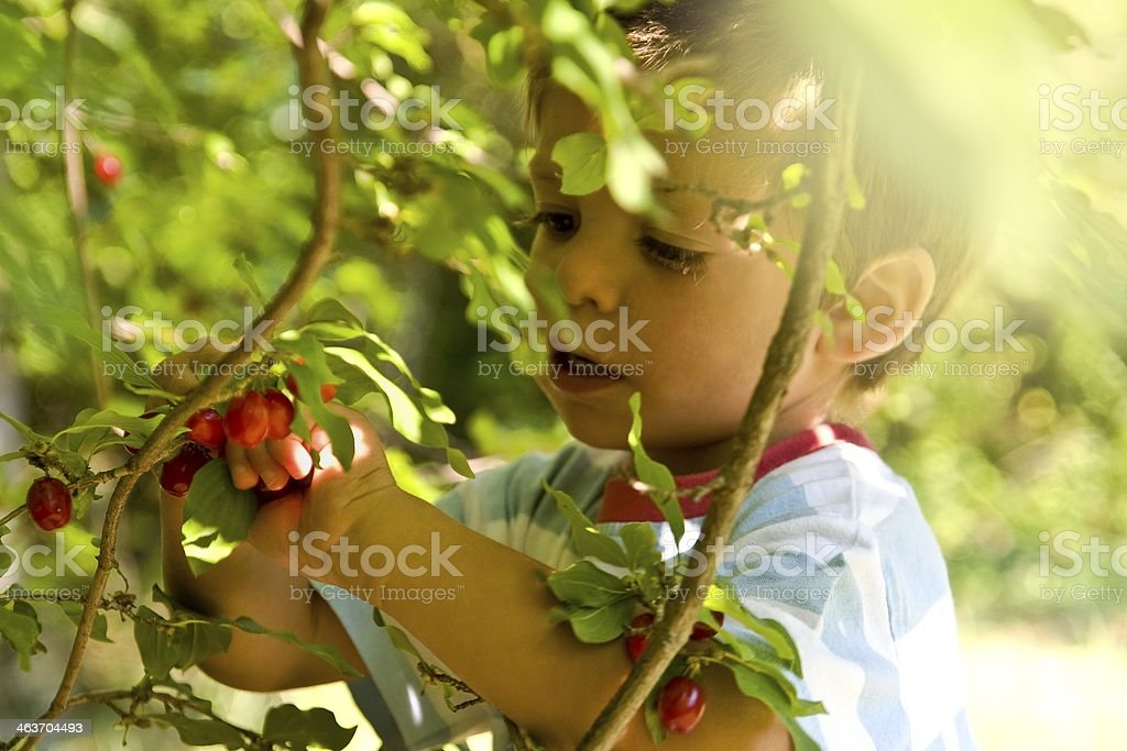 Boy picking cornel stock photo