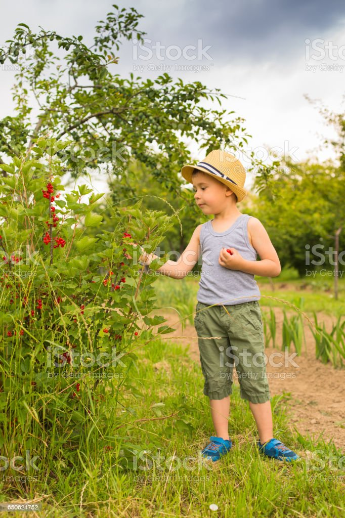 Boy piking Currants in the Garden stock photo