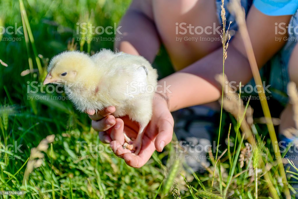 Boy Playing with Little Chick at the Green Grasses stock photo