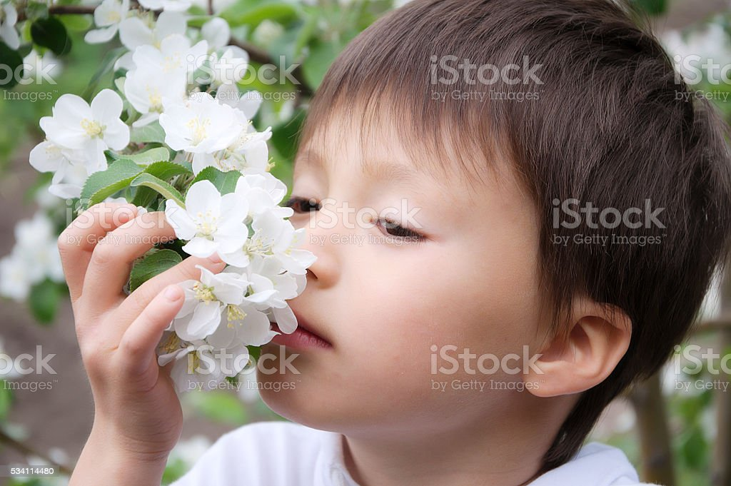 Boy smelling blossoming apple tree flowers stock photo