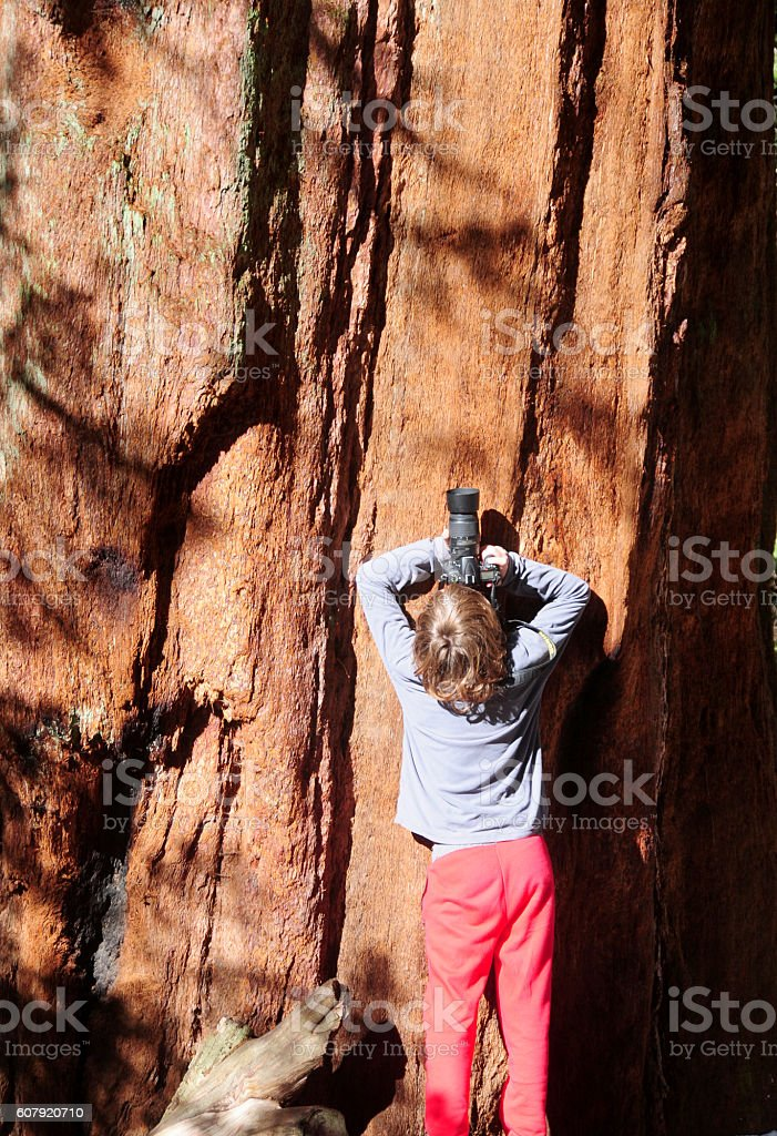 Boy taking a picture of a giant Sequoia tree stock photo