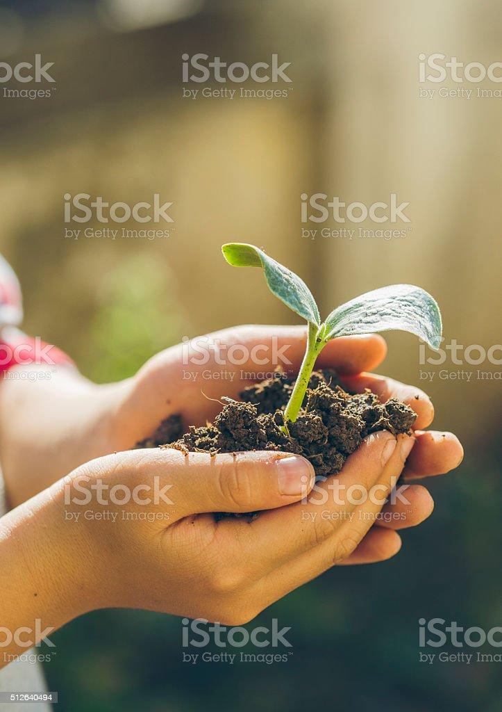 Boy transplanting the seedling stock photo