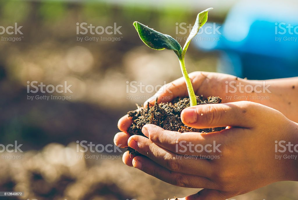 Boy transplanting the seedling stock photo
