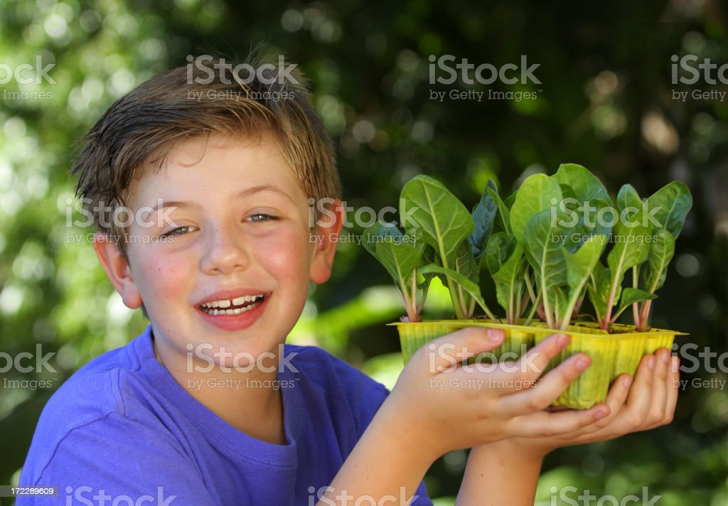 Boy with Swiss Chard Seedlings royalty-free stock photo
