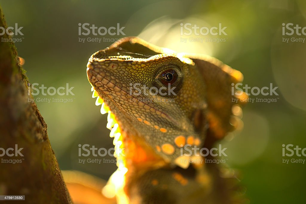 Boyd's Forest Dragon 5 stock photo