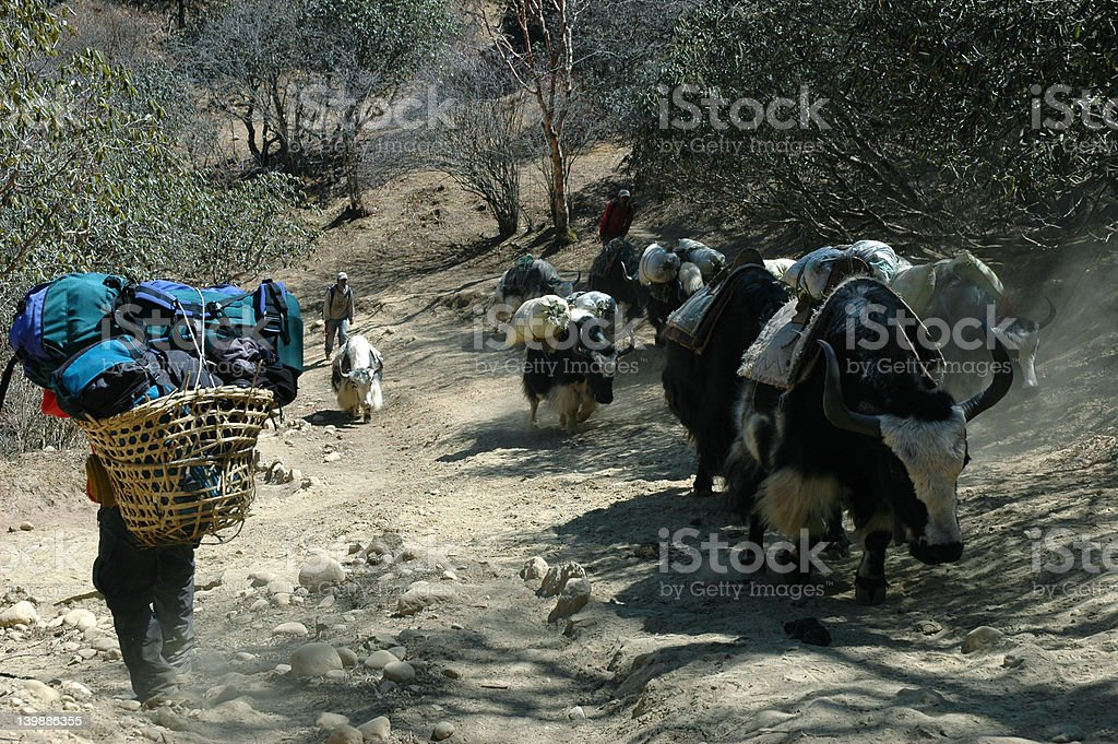 Boy-porter and Yaks in the Himalayas royalty-free stock photo