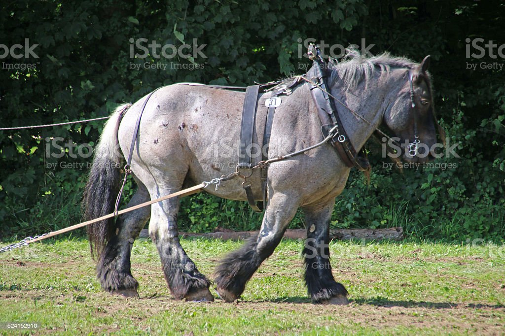 Brabant horse stock photo