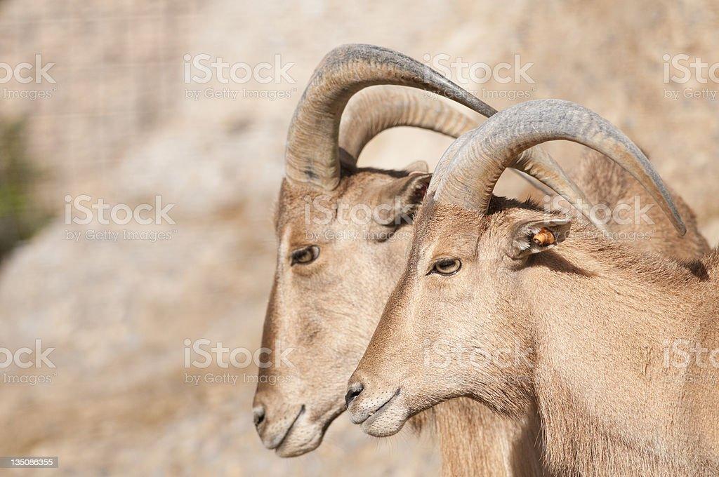 Brabary Sheep Portrait royalty-free stock photo