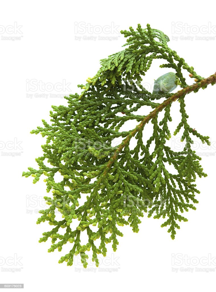 brach of thuja stock photo