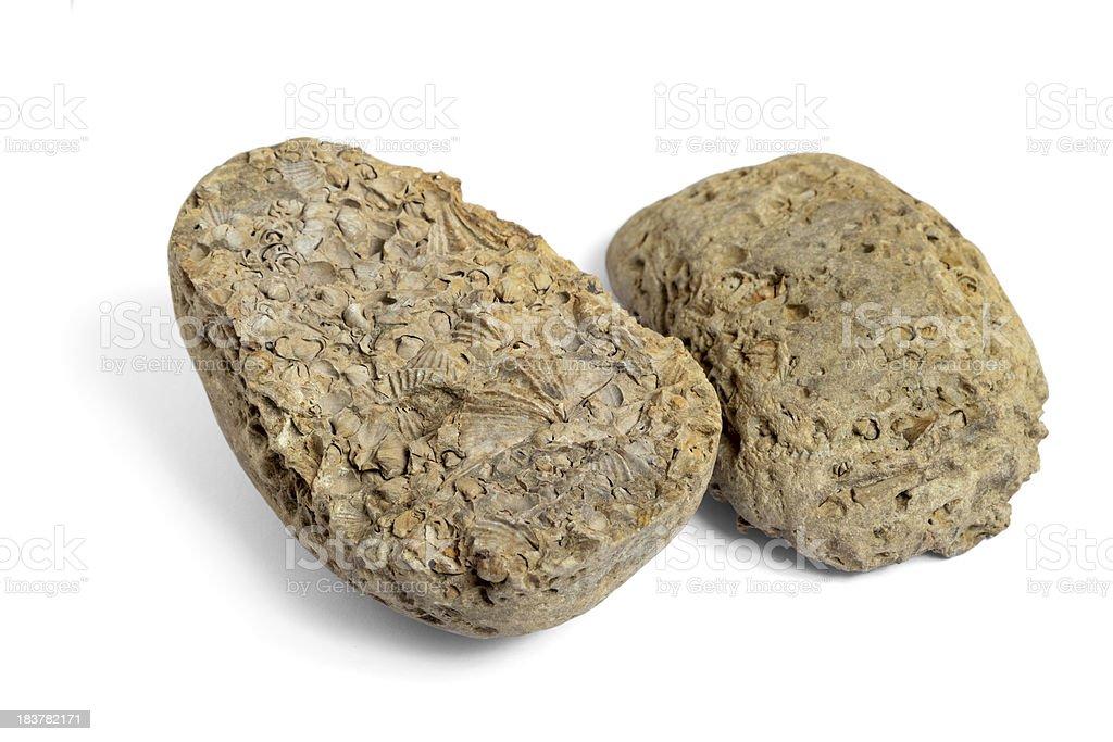Brachiopod Fossils in Rock, Two Halves stock photo