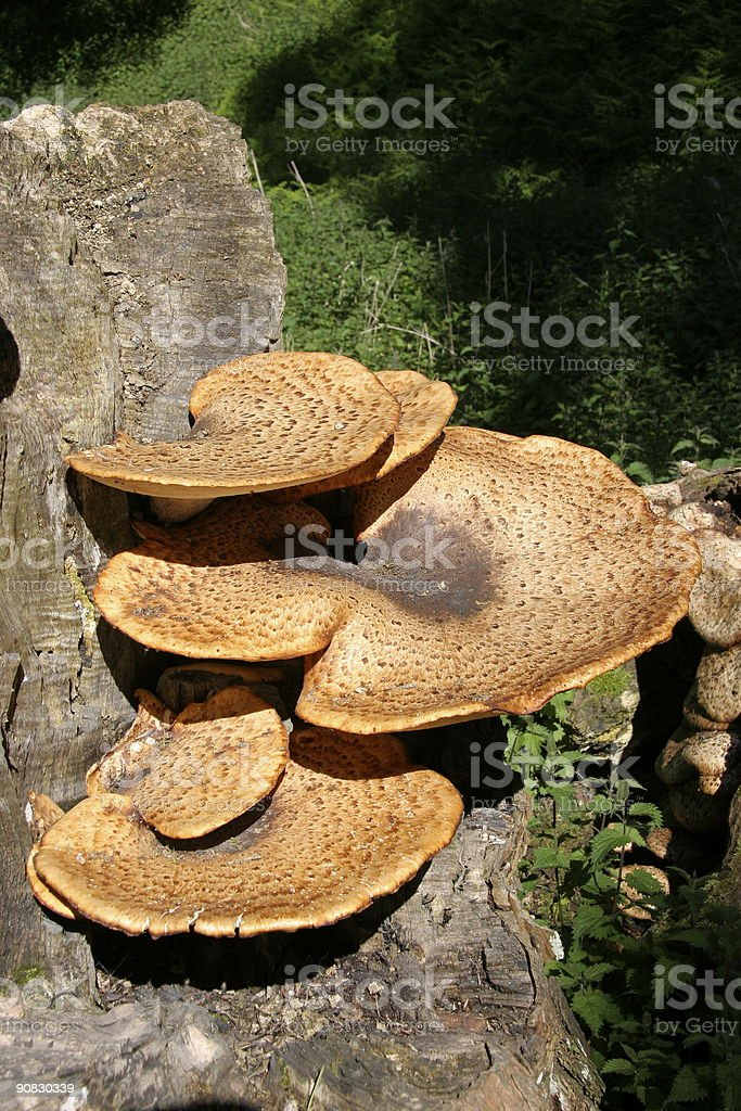 Bracket Fungi stock photo