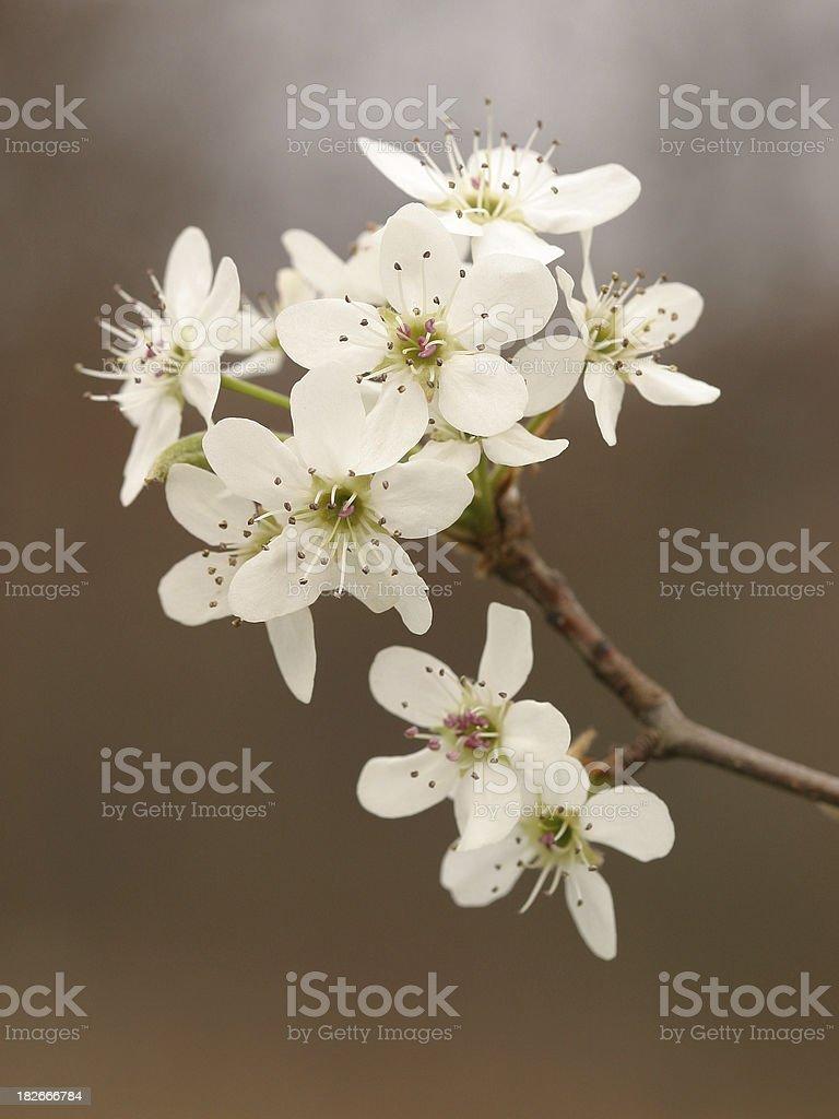 Bradford Pear Blossom stock photo