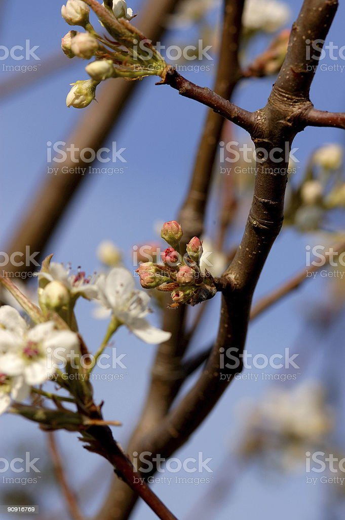 bradford pear buds royalty-free stock photo