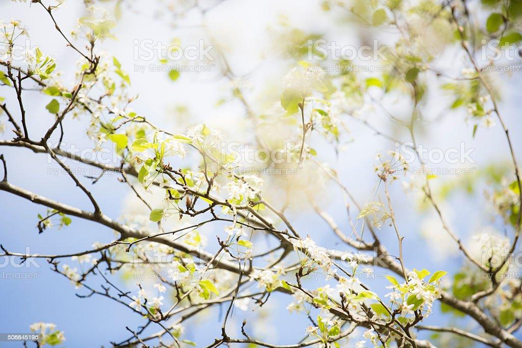 Bradford pear tree blooms in spring season. Blue sky. Texas. stock photo