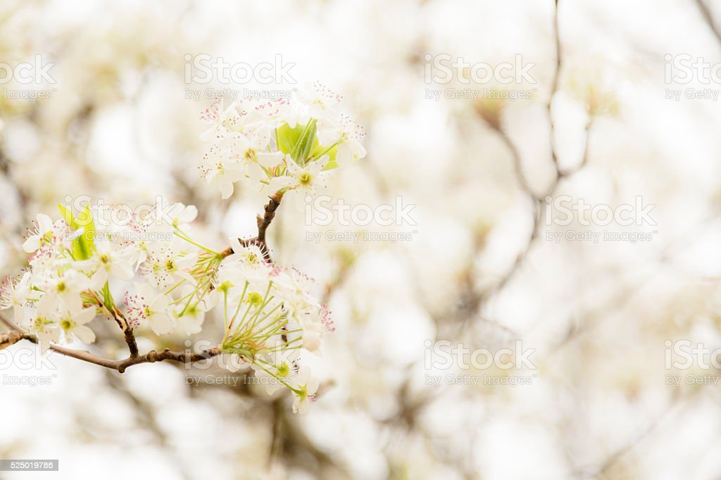 Bradford pear tree blooms in spring season.  Texas. stock photo