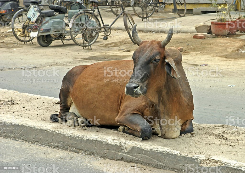 Brahma Cow at Roadside stock photo