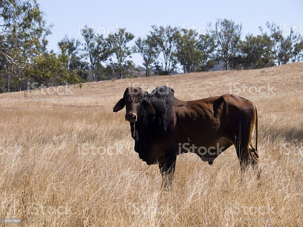 Brahman bull stock photo
