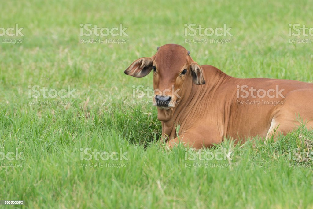 Image result for brahma cow