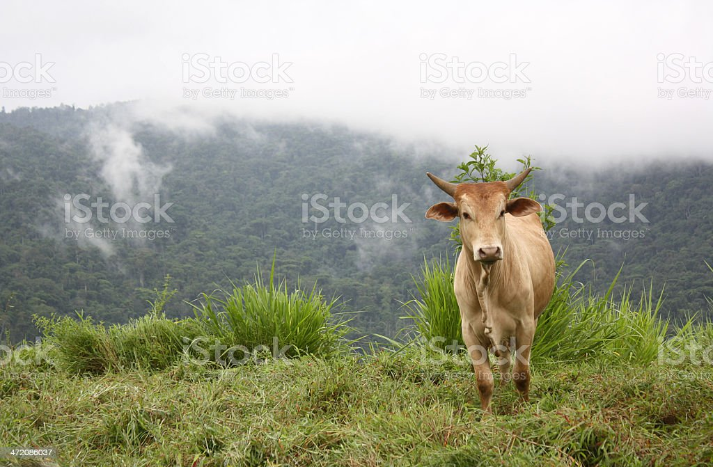 Brahman Cow in Costa Rican Countryside stock photo