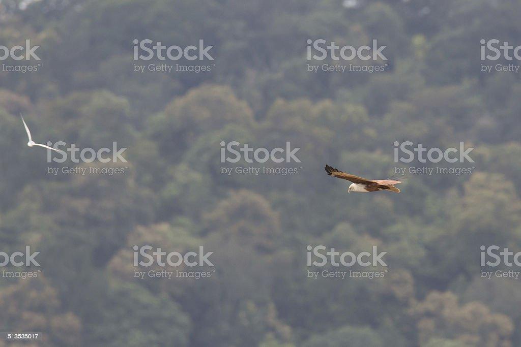 Brahmini kite and river tern face off stock photo