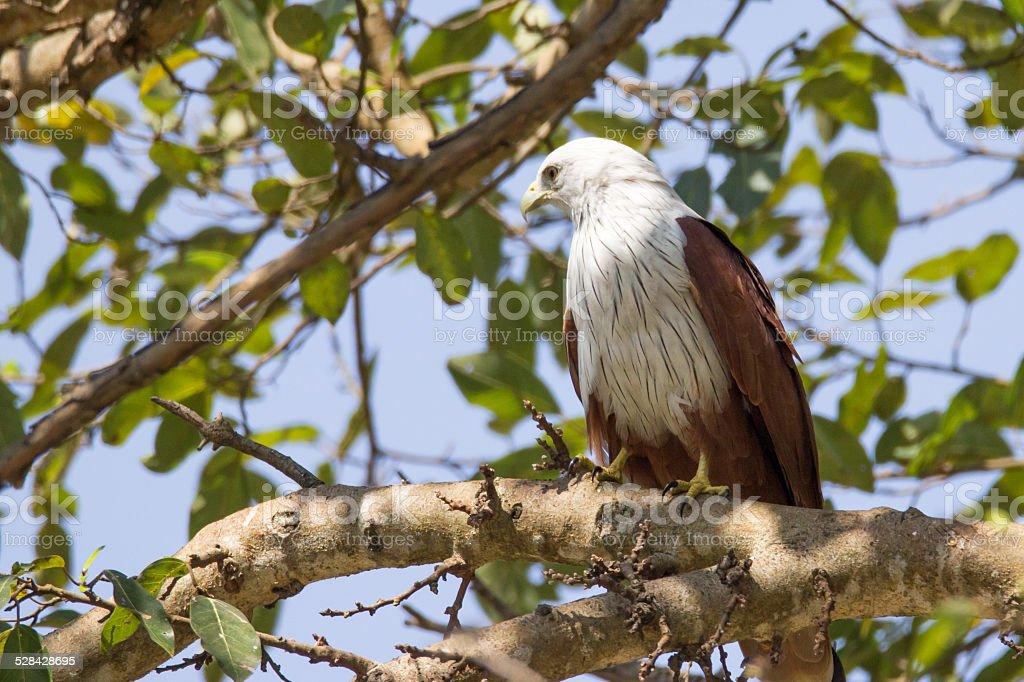 Brahmini kite perching on a tree stock photo