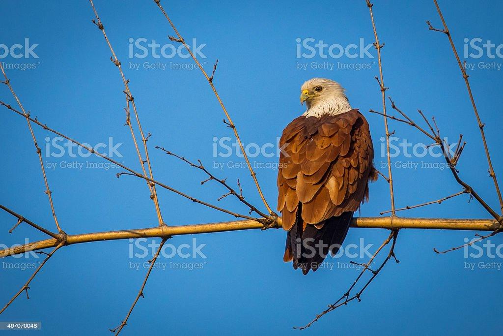 Brahmini kite perching on bamboo stock photo