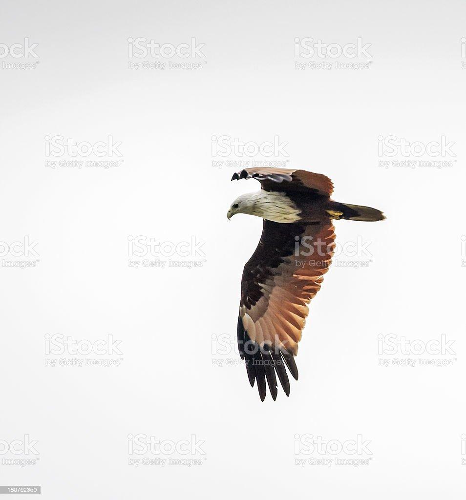Brahminy Kite (Haliastur indus) aka Red-backed Sea-eagle in Australia stock photo