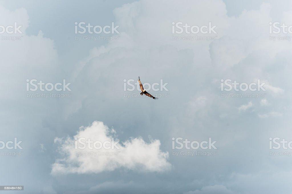 Brahminy Kite and thunder strom cloud background. stock photo