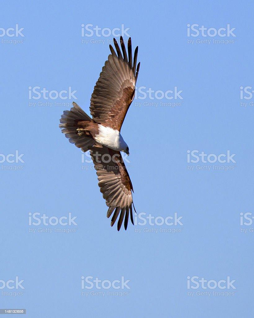 Brahminy Kite. ( Haliastur indus ) Bird stock photo
